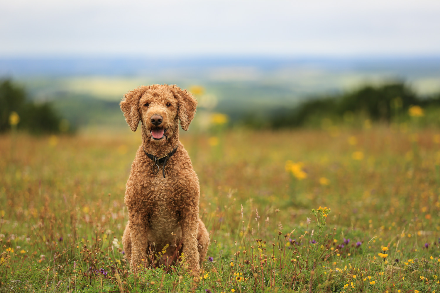 labradoodle in dog photoshoot in chandlers ford