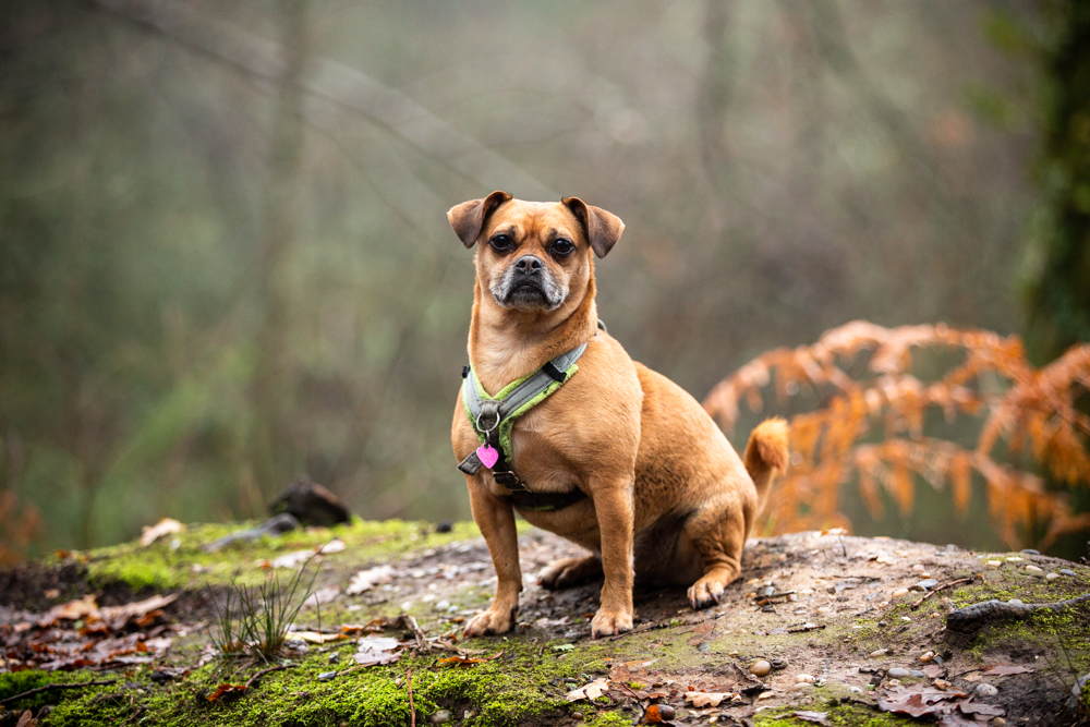 dog staring at the camera in early morning mist during a photoshoot in Chandlers Ford