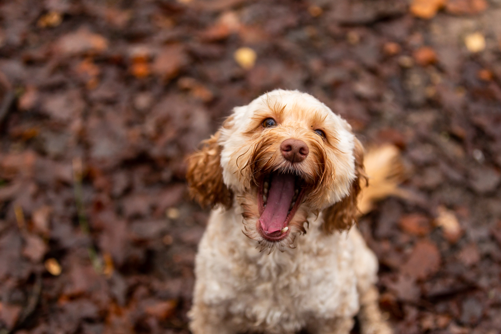 dog laughs at the camera during a dog photoshoot in chandlers ford
