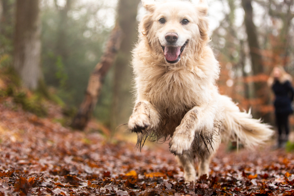 golden retriever jumping towards camera at dog photoshoot in chandlers ford