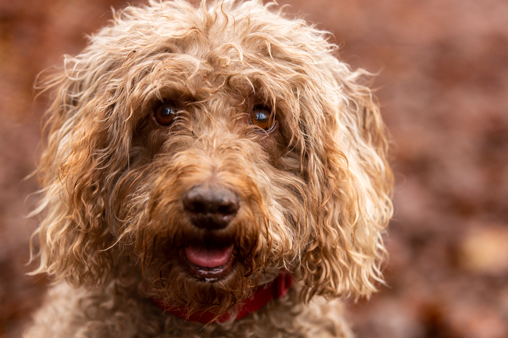labradoodle looks straight into the camerta during a dog photoshoot in chandlers ford