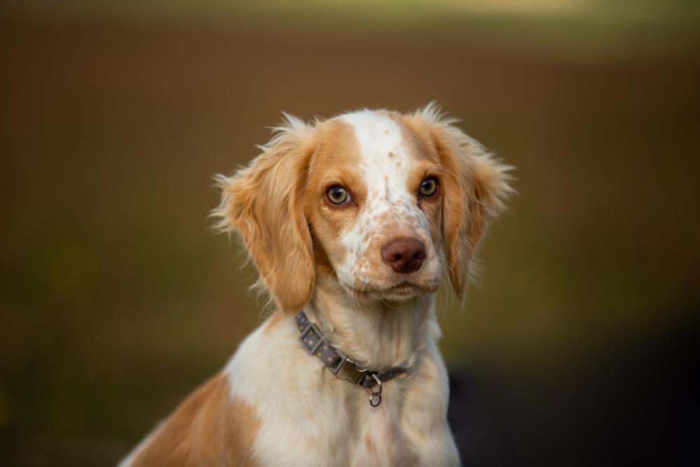 springer looking at the camera during a dog walk at stockbridge down
