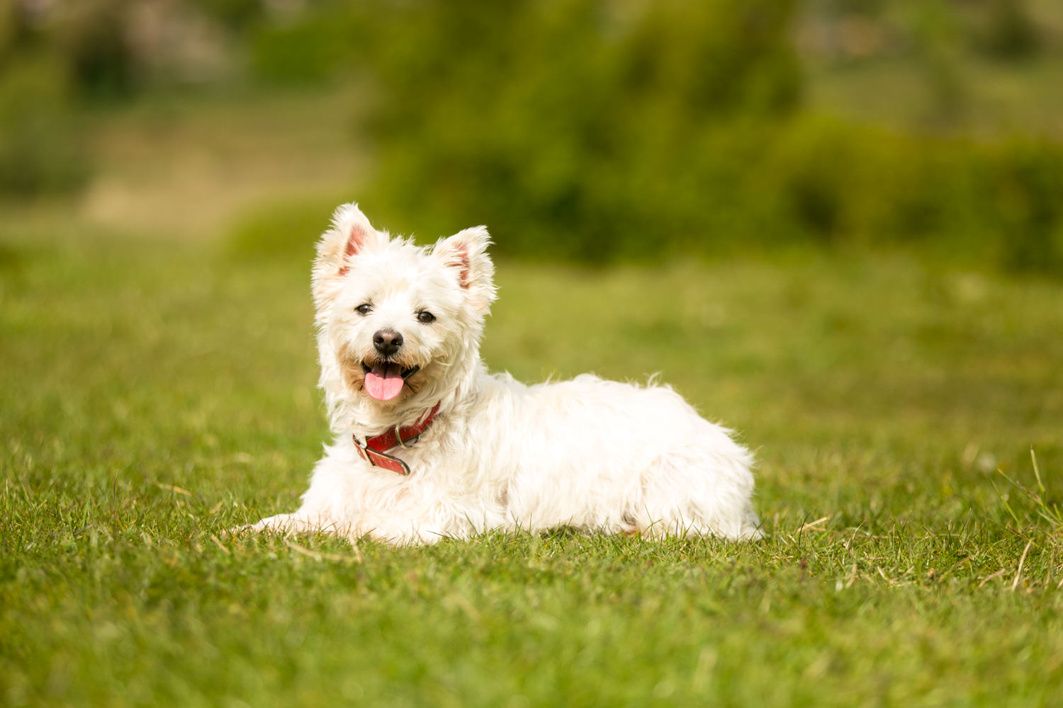 dog photography in winchester - scottie dog