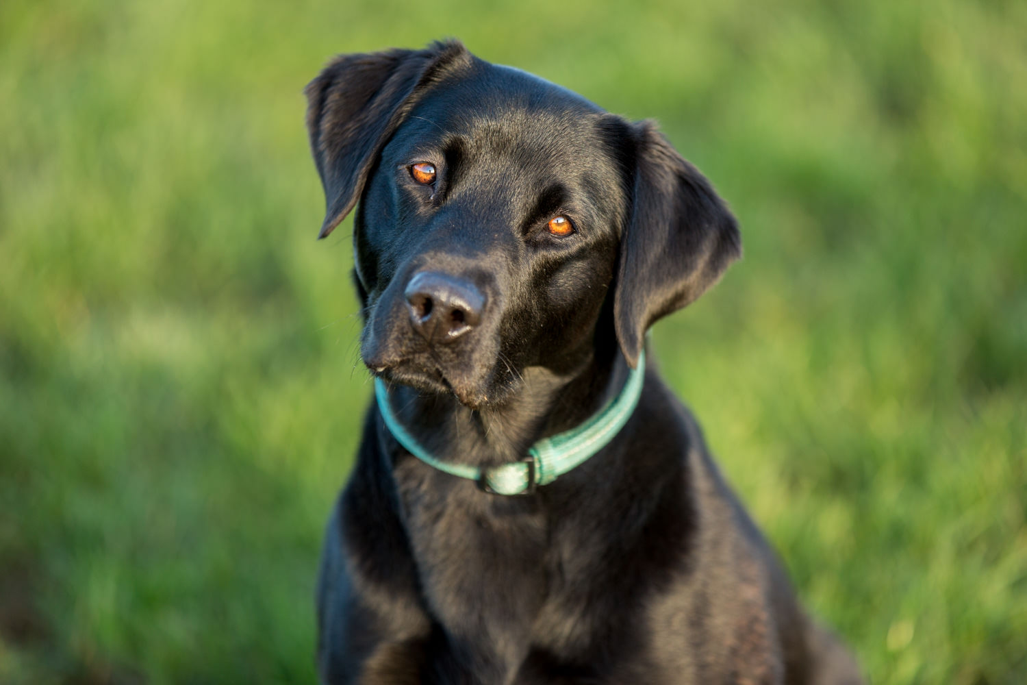 dog photographer in winchester - Labrador with head cocked
