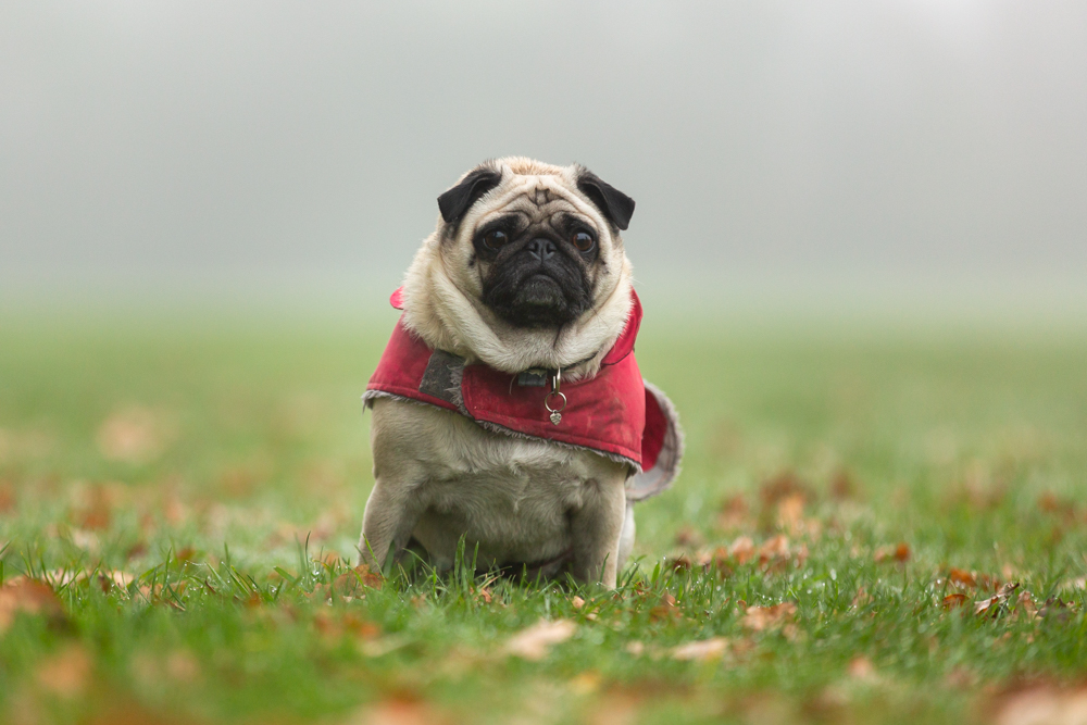 pug in the early morning mist during a dog photoshoot in chandlers ford