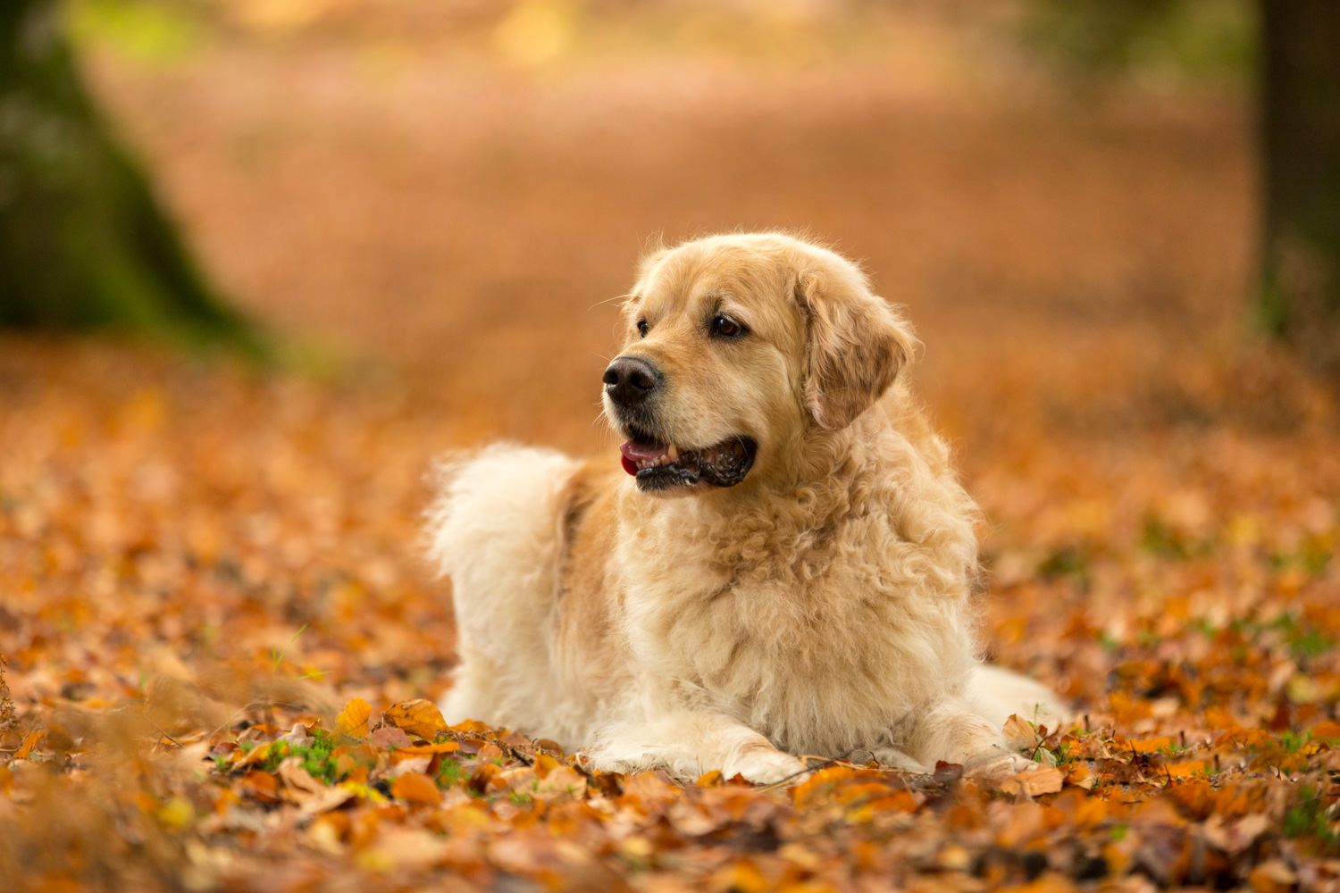 golden retriever lies in autumn leaves during dog photoshoot in chandlers ford