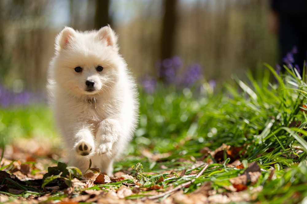 10 week old japanese spitz captured during a dog photoshoot in chandlers ford