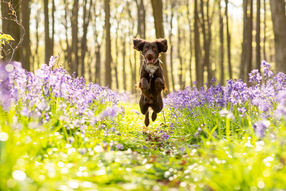 cpcker spaniel jumping among the bluebells