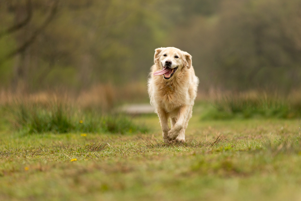 happy golden retriever smilig during a dog photoshoot in chandlers ford